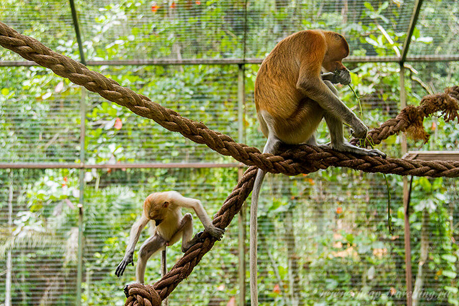 Носачи в зоопарке