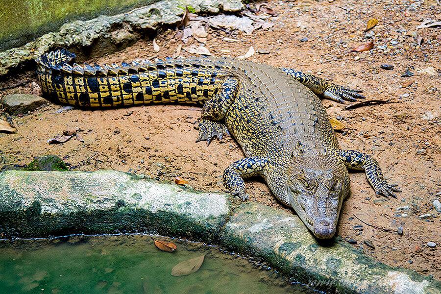 Крокодил в зоопарке Lok Kawi Wildlife Park
