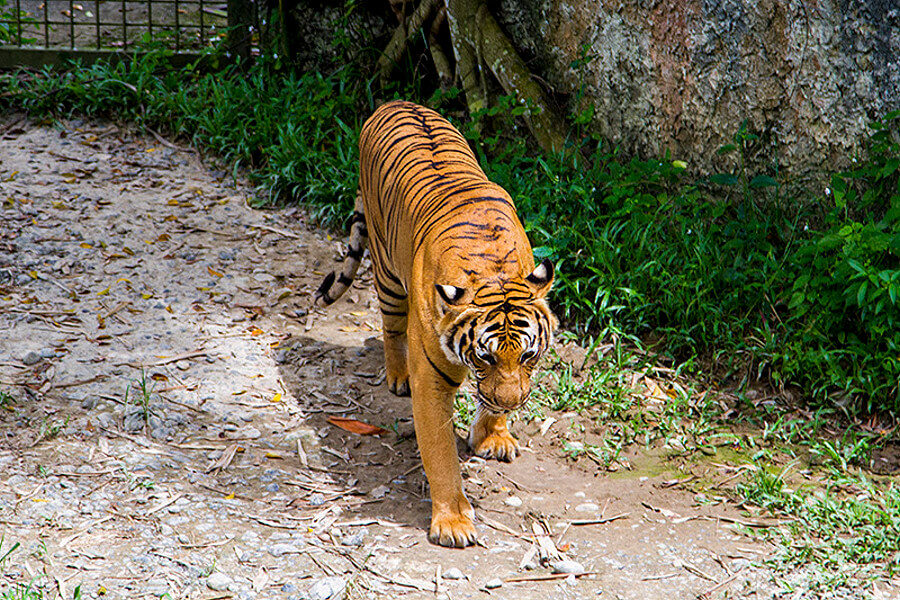 Тигр в Lok Kawi Wildlife Park