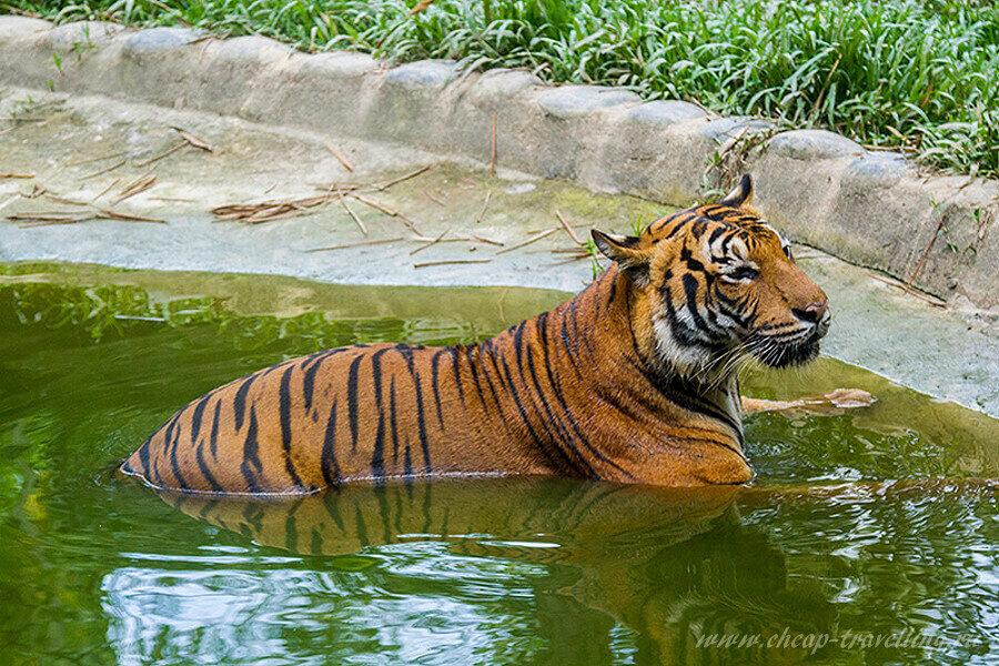 Тигр купается