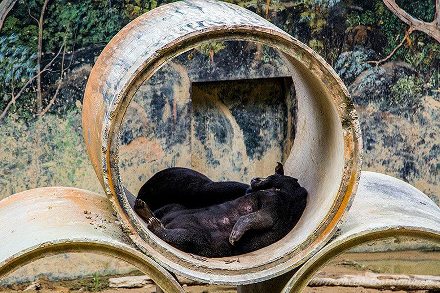 Медведь в Малайзии