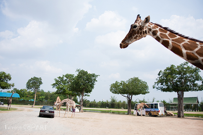Жирафы требуют морковки