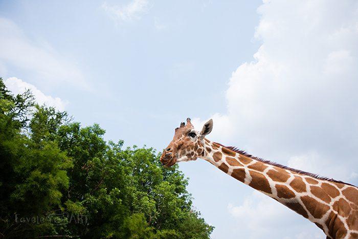 Жираф в сафари-парке Канчанабури