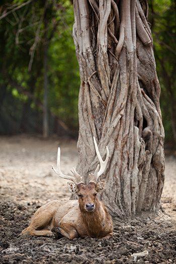Олень отдыхает у дерева