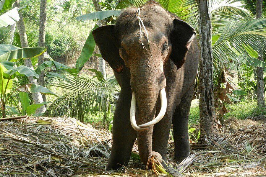 Слон питается