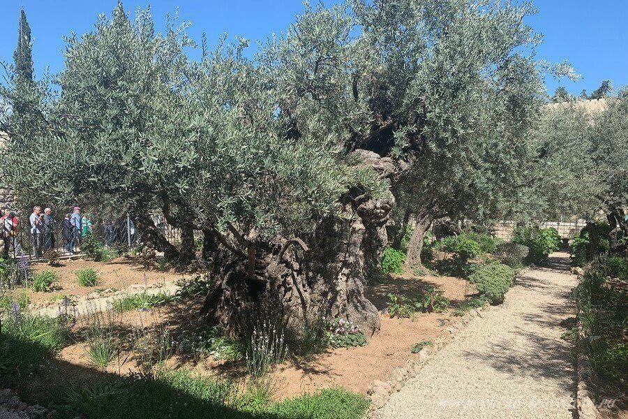 Очень старое дерево Израиль